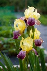 Yellow maroon iris flower on a green background. Vertical photo, place for text, copy space.