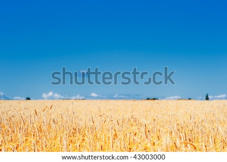 Yellow meadow of the wheat on the farmland