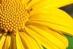 Yellow Mexican sunflower,Tithonia diversifolia.