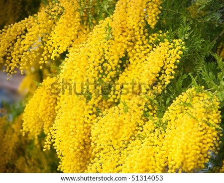 stock photo : Yellow mimosa flowers