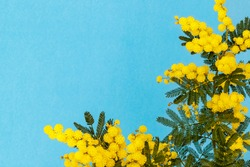 Yellow mimosa flowers on blue background. Holiday spring card with  gold mimisa flowering blossom. 8 March Women`s Day Card. Acacia dealbata golden blooms, copy space, text place