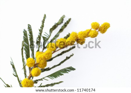 stock photo : yellow mimosa flowers on white