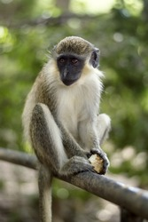 Yellow Monkey Of Barbados In A Tree