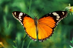 Yellow Morpho, Monarch butterfly, Milkweed butterfly from Nymphalidae famlily, big butterfly sitting on green leaves, beautiful insect in the nature habitat, wildlife national park, India