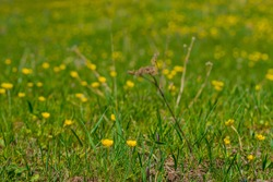 Yellow mountain flower. Macro photo. Yellow flowers in a meadow in the mountains. Spring flowers blooming. Green grass on brown ground. Field with flowers and grass