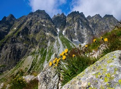 Yellow mountain flowers in the rocks, in the background the ridge of the High Tatras. Alpine flora, Slovakia.