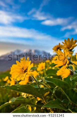 Yellow Mountain Flowers with Mountain in the Background - stock photo