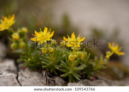 Yellow mountain Saxifrage aizoides in blossom