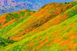 Yellow Mustard and California Poppies bring the hillsides of Riverside County, in California to life in brilliant color.