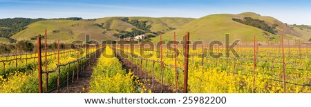 Yellow mustard bloom in the Californian wine country (panorama).