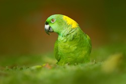 Yellow-naped Parrot, Amazona auropalliata, portrait of light green parrot from Costa Rica. Detail close-up portrait of bird. Wildlife scene from tropical nature.