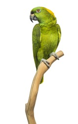 Yellow-naped parrot (6 years old) perched on a branch, isolated on white