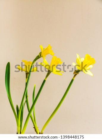 Yellow narcissus flowers, flower daffadowndilly,