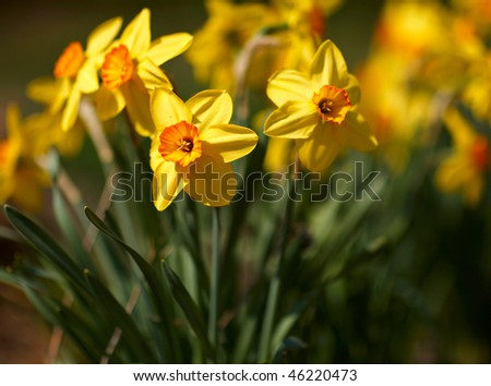 http://image.shutterstock.com/display_pic_with_logo/2303/2303,1265639451,1/stock-photo-yellow-narcissus-flowers-in-the-garden-46220473.jpg