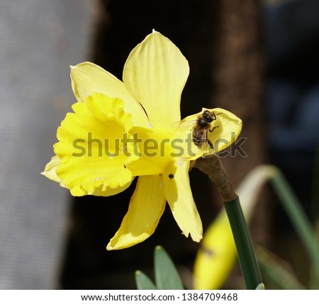 Yellow narcissus is a genus of predominantly spring perennial plants of the amaryllidaceae family, various names including daffodil, daffadowndilly, narcissus and jonquil, macro photography