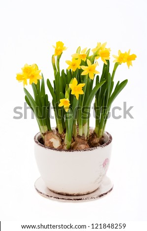 yellow narcissus isolated on a white background