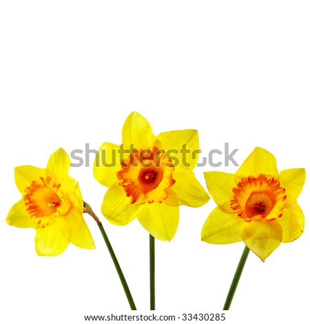 Yellow narcissus isolated over the white background