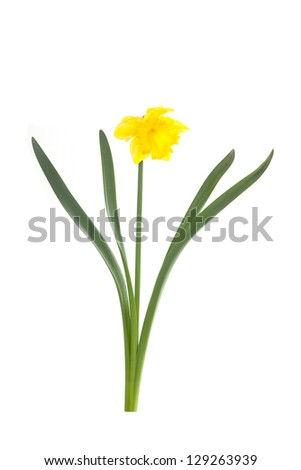 Yellow Narcissus or Spring Daffodil, isolated on white background