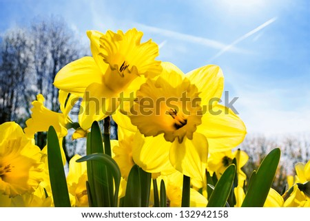 Yellow Narcissus skyline. Spring landscape.