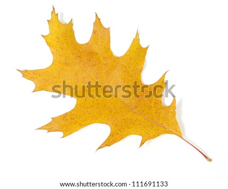 Yellow oak leaf on the white background