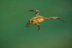 Yellow or green frog is floating on emerald green water. Lazy frog in water, chilling and relaxing with legs spread apart.