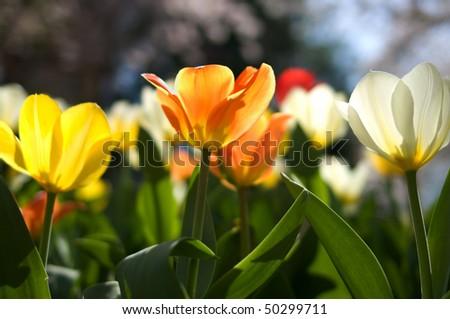 Yellow, orange and white tulips