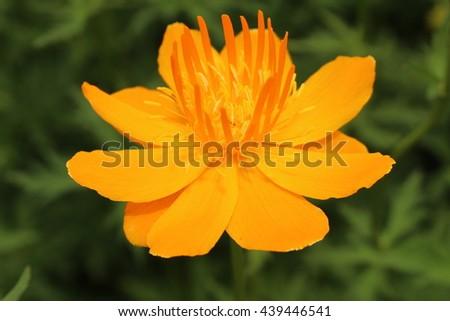 Yellow orange asian globeflower or only globe flower in st yellow orange mightylinksfo