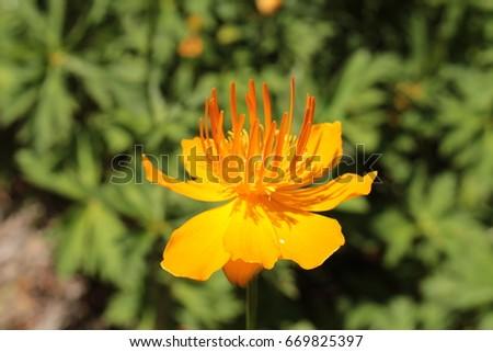 Free photos yellow orange asian globeflower or only globe flower yellow orange asian globeflower or only globe flower in st mightylinksfo