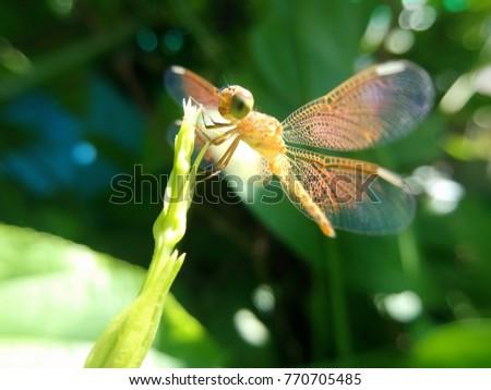 Yellow-orange dragonfly on green leaf #770705485