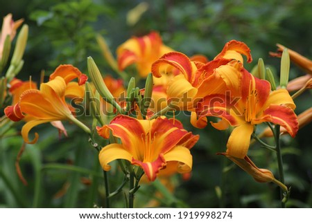 Yellow orange flowers of the daylily Frans Hals Stok fotoğraf ©