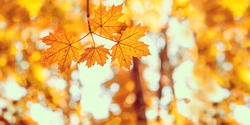yellow orange maple leaves in forest. autumn natural landscape. beautiful fall season concept. copy space