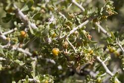 Yellow orange mature berry fruit of Peach Thorn, Lycium Cooperi, Solanaceae, native thorny hermaphroditic perennial deciduous woody shrub in Joshua Tree National Park, Southern Mojave Desert, Summer.
