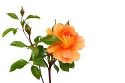 Yellow orange rose on white background