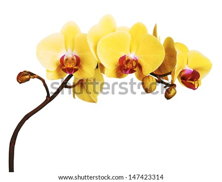 Yellow Orchid Flower isolated on white background