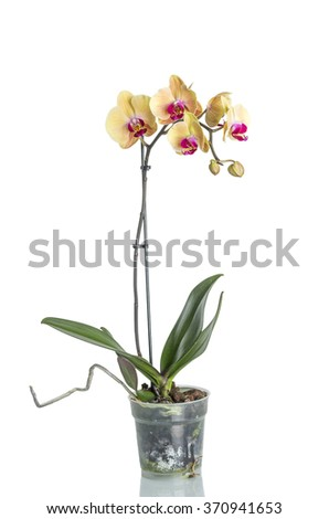 Yellow Orchid flower isolated on white background. #370941653