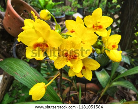 Yellow orchid in garden can be used for display or nature background concept. Copy space for your text or design.