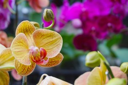 yellow orchid isolated on blur background. Closeup of yellow phalaenopsis orchid. Phalaenopsis yellow red stripe hybrid