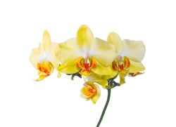 yellow orchid isolated on the white