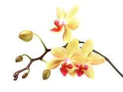 yellow orchid phalaenopsis