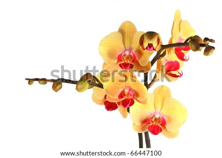 Yellow orchid with buds white isolated