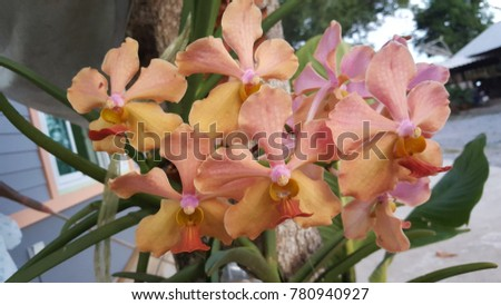 yellow orchids vanda in the...