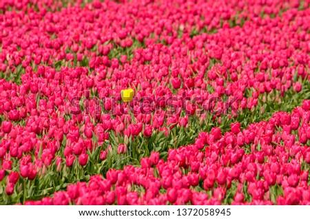 Yellow outsider tulip in a field of reddish purple tulips in a field near Noordwijkerhout, The Netherlands #1372058945