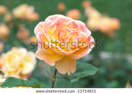 Yellow Peach rose, with other yellow peach roses in the background