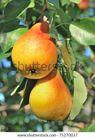 Yellow pears on the tree.
