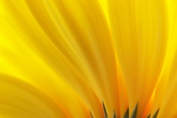 Yellow petals. Background.