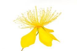 Yellow petals, stamens and pistil, center, white background