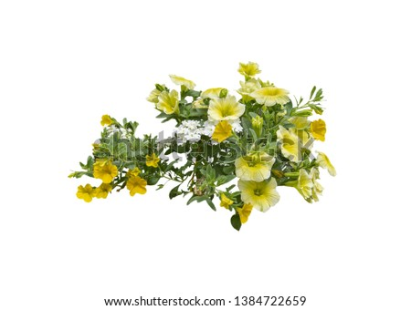 Yellow petunia flowers isolated on white.  #1384722659