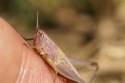 Yellow pink grasshopper sitting on a finger
