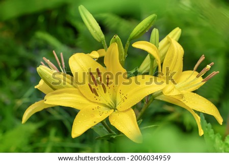 Yellow Planet Lily (Lilium) - variety is a tubular hybrid of lilies, a genus of plants of the Liliaceae family. Perennial herbs, equipped with bulbs consisting of fleshy grassroots pinkish leaves Foto stock ©