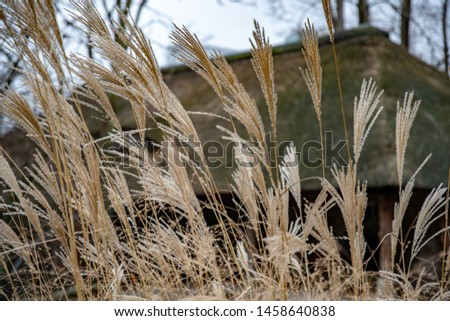 Yellow plant panicles on dark background. Dry spikelets of cereal plant closeup on blurred backdrop. Autumn textures. Fall seasonal herbs closeup. Natural shades palette. Ears of wheat. #1458640838